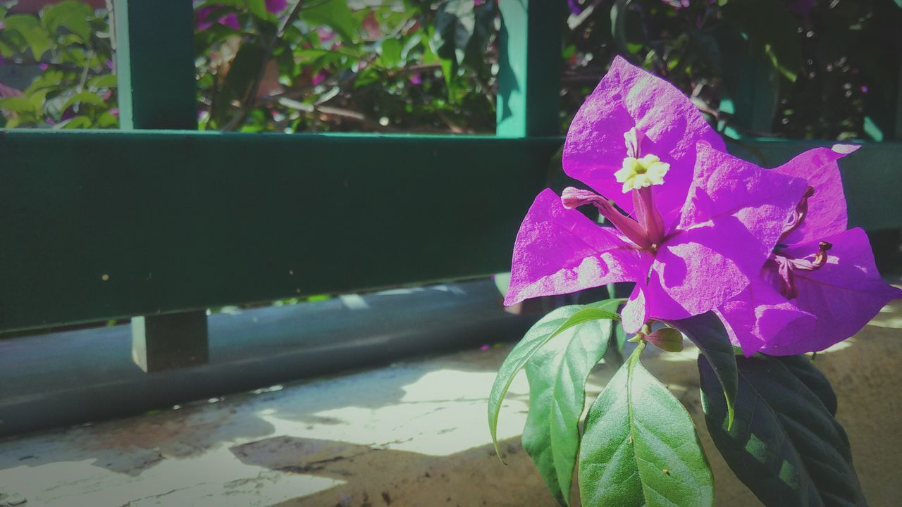 flower, petal, leaf, growth, fragility, plant, day, no people, nature, close-up, pink color, beauty in nature, outdoors, flower head, freshness, focus on foreground, blooming, periwinkle, petunia