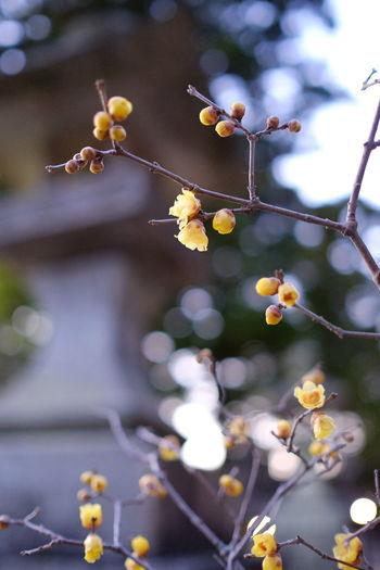 今まで一度も訪れたことのなかった筑波山へ行ってみました。神社の境内に蝋梅が咲いていて、良い香りでした。 Chimonanthus Preacox Early Spring Flower Fujifilm Nature Yellow Flower