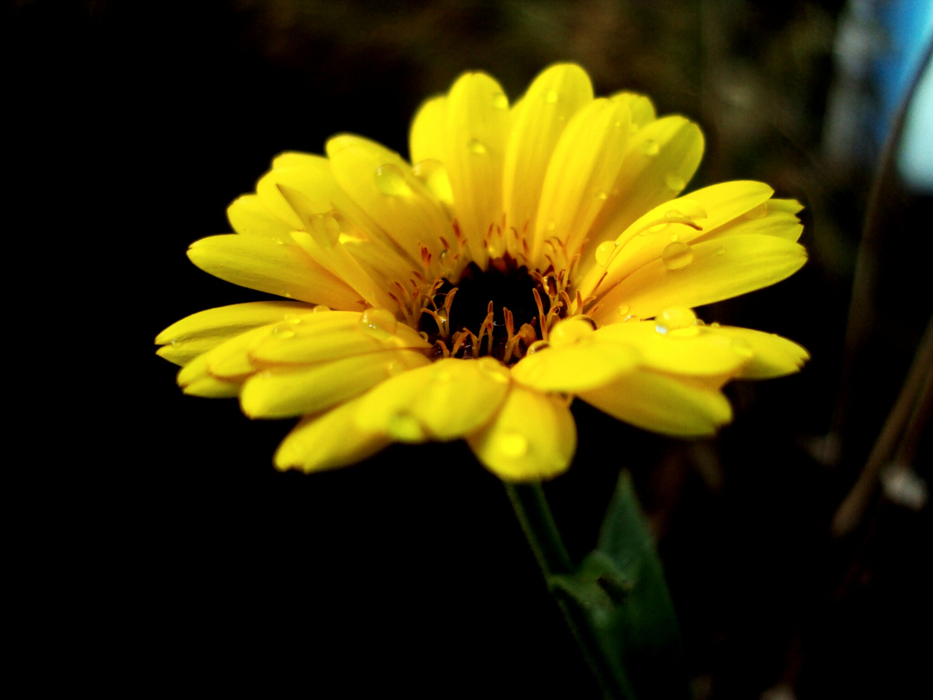 petal, fragility, flower, freshness, flower head, yellow, close-up, growth, beauty in nature, season, single flower, stem, in bloom, springtime, nature, blossom, vibrant color, daisy, selective focus, focus on foreground, water, dew, botany, day, blooming, pollen, softness, no people, focus