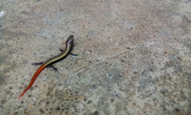 Reptilia Scincidae Indian Skink Nature_collection Orange Tail Reptile Lizard Nature From My Point Of View Baby Reptiles EyeEm Gallery Reptiles Red Tail Red Tailed Skink Skink Baby Skink