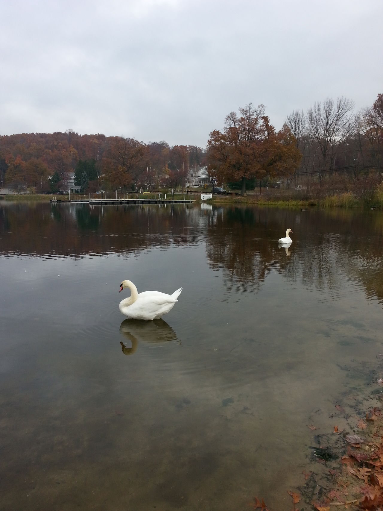 Animal Themes Animals In The Wild Beauty In Nature Bird Day Early Winter Fall Floating On Water Horizontal Symmetry Lake Mates For Life Nature No People Outdoors Reflection Relaxing Moments Rockaway, NJ Swan Swimming Tranquil Scene Tranquility Water Waterfront Wildlife