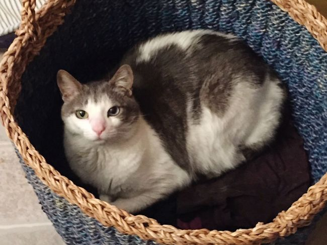 Adopt Ferrell Cats Cat Lovers Cat Basket Cat Catslife Pets Nopeople Maine Animallovers