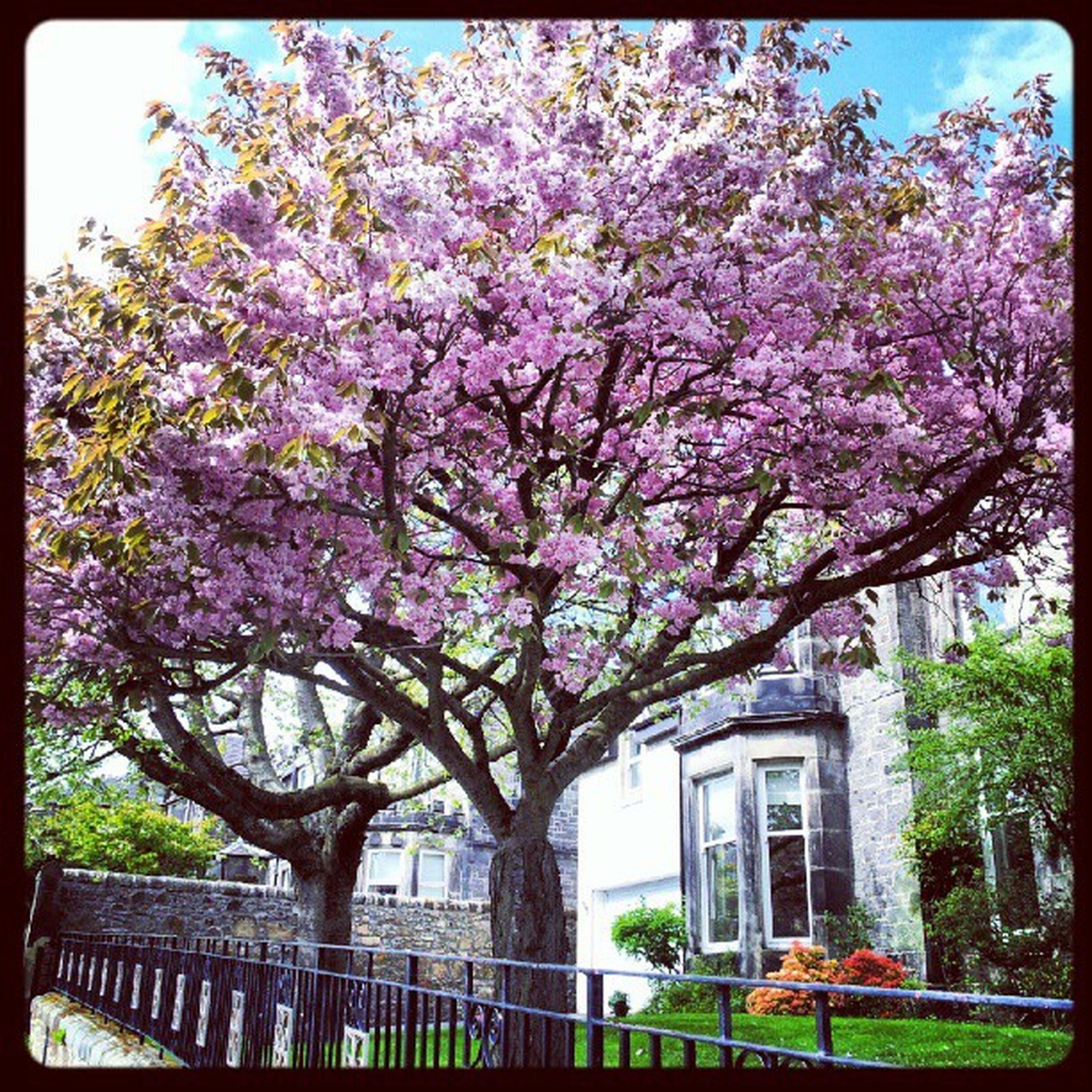 flower, tree, building exterior, growth, built structure, freshness, architecture, transfer print, branch, blossom, fragility, nature, auto post production filter, beauty in nature, pink color, in bloom, blooming, day, cherry blossom, city