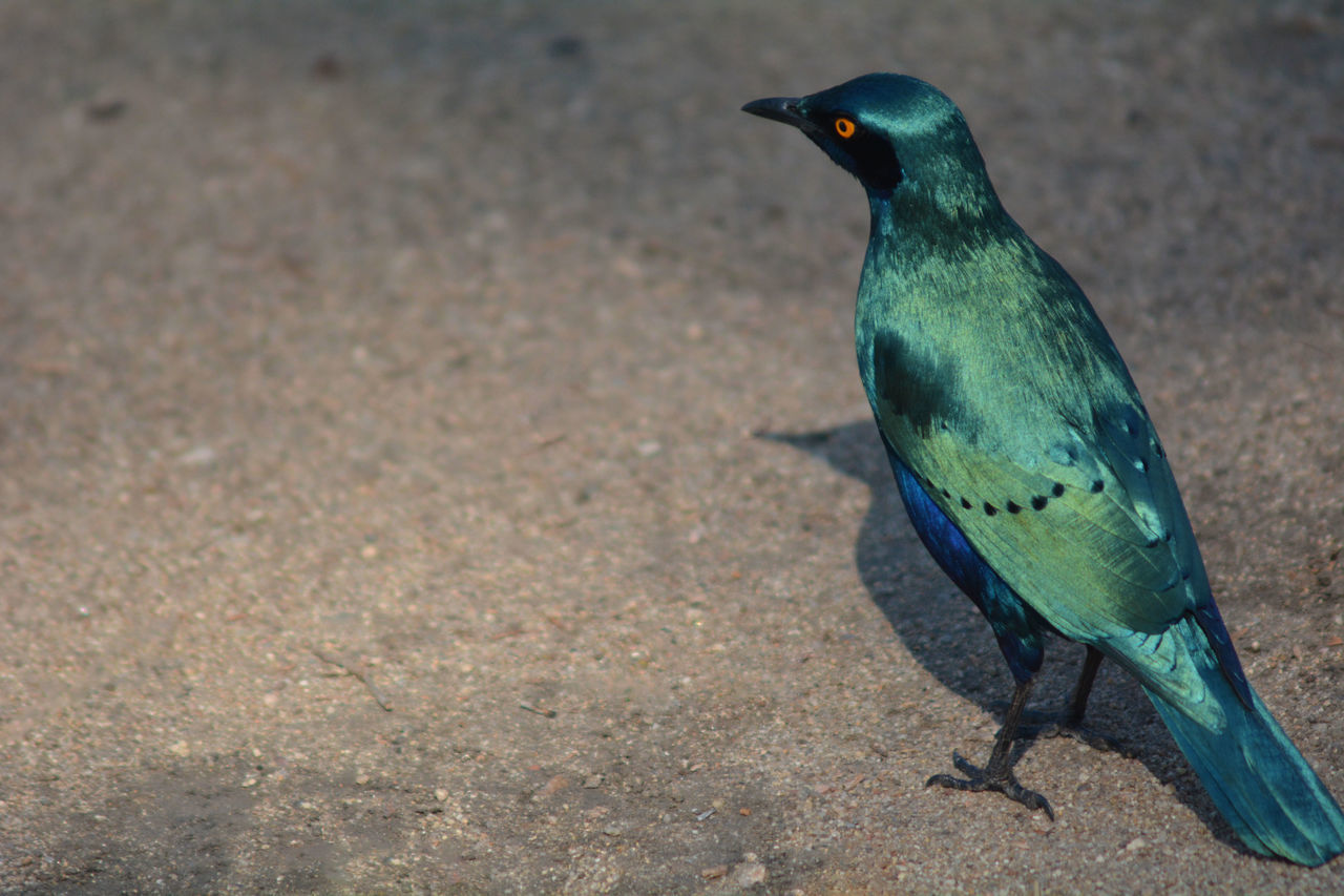 Greater blue-eared starling in South Africa Animals In The Wild Bird Photography Greater Blue-eared Starling Green Lamprotornis Chalybaeus Shining South Africa Africa Animal Themes Animals Animals In The Wild Bird Birds Close-up First Eyeem Photo Nature Nature_collection No People One Animal South African Starling