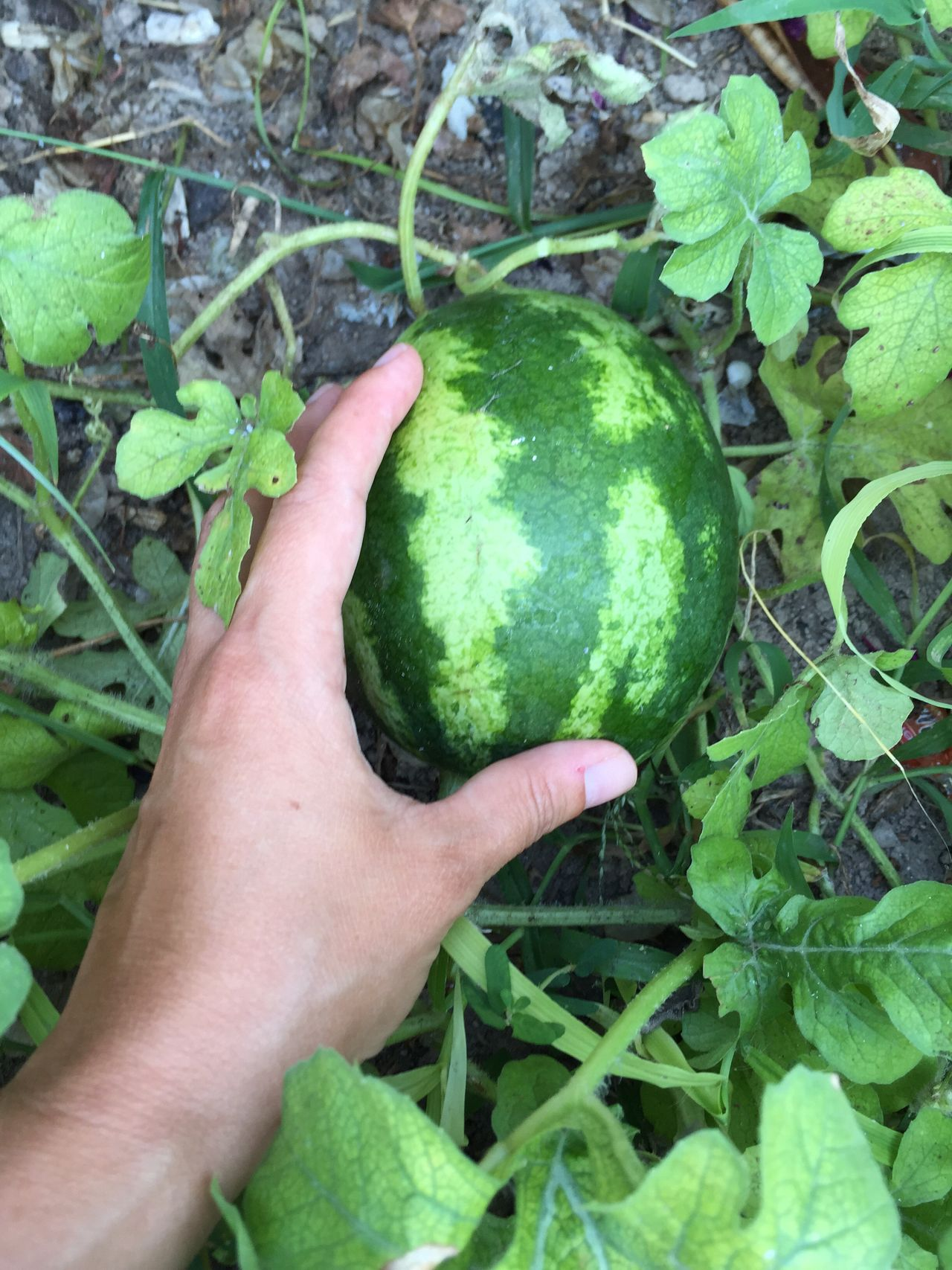 Watermelon Water Melon Green Food Plant Garden Greenery Nature Agriculture Hand Growing Plants Growth Fruit