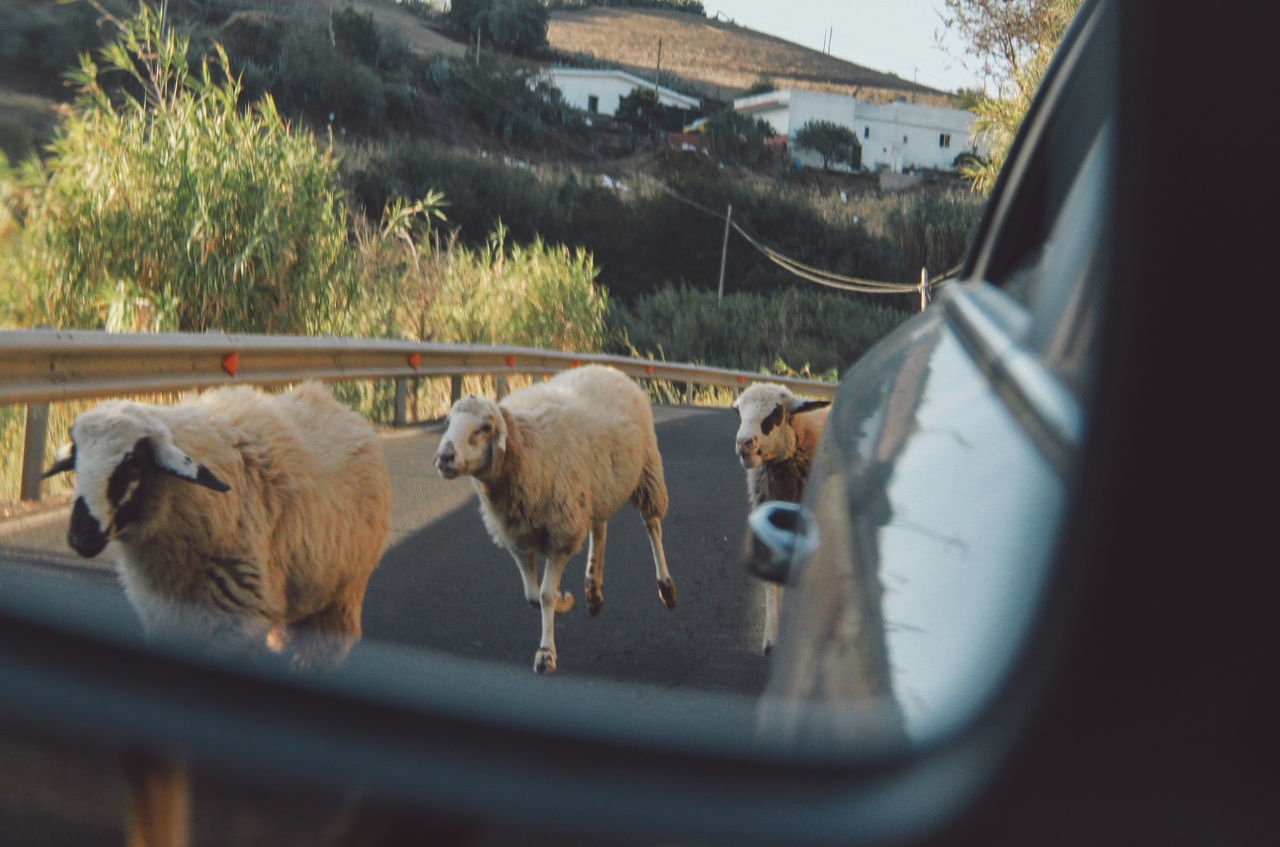 Sheep Walking On Road Reflecting In Car Side-View Mirror