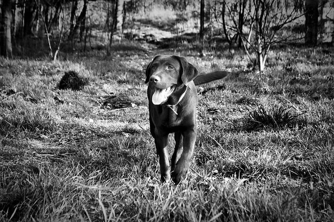 Labrador Dog Dogblackandwhite. Blackandwhite