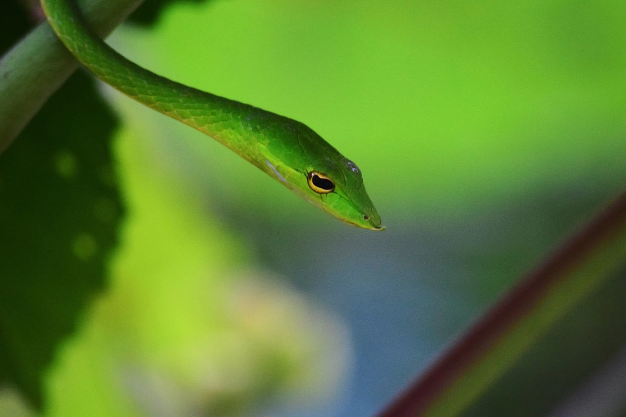 one animal, green color, animals in the wild, animal themes, animal wildlife, nature, close-up, day, plant, no people, focus on foreground, leaf, outdoors, reptile, growth, beauty in nature