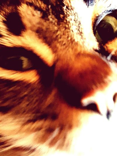 One Animal Close-up Animal Themes Mammal Pets Domestic Cat Eyes Cats Of EyeEm Cat Eyes Watching You