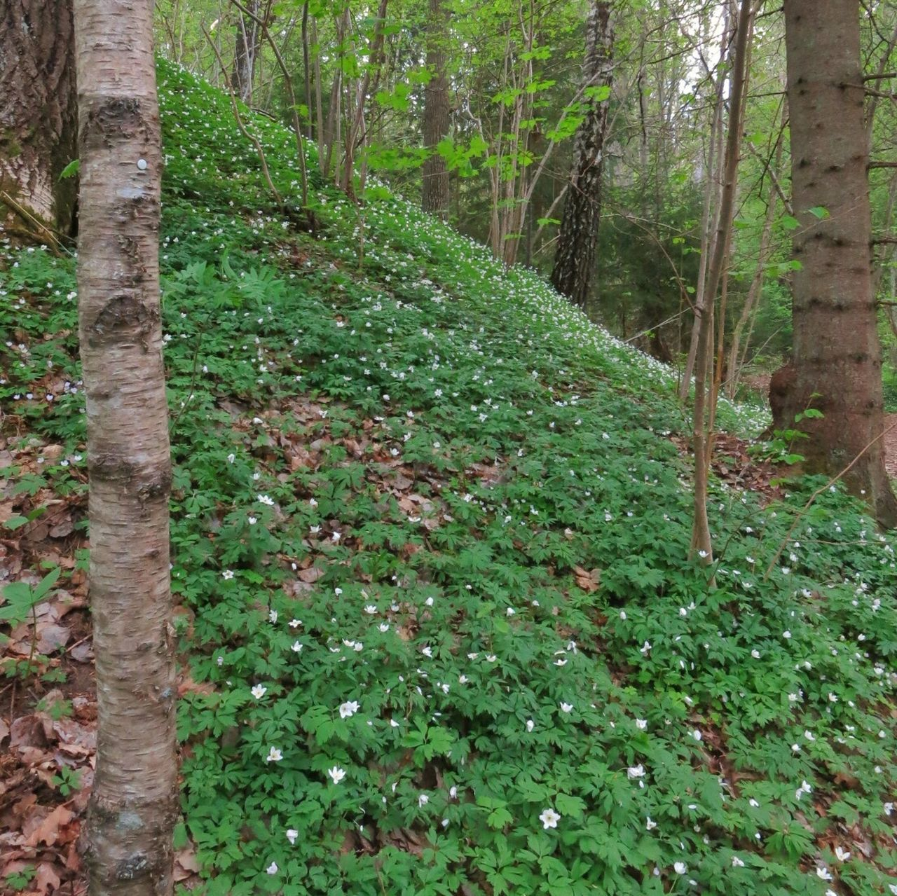 Still a lot of Wood anemones on the ground. Forest Trekking Spring Flowers Wood Anemone