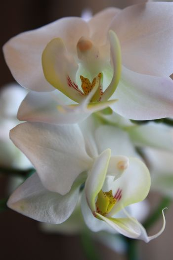 Orchid Orchid Blossoms White Flower Flower Beauty Flower Head No People Close-up Eyem Collection EyeEm Week Amaturephotography