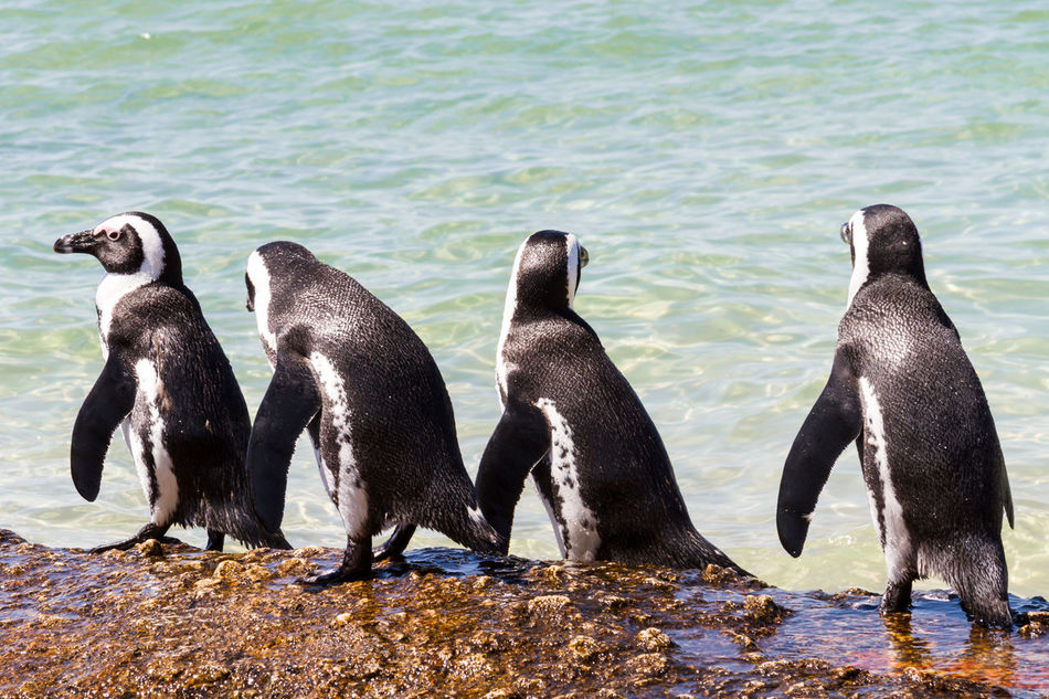 A Row of Penguins Animal Themes Animal Wildlife Animals In The Wild Aquatic Beach Bird Boulder Beach Cute Day In A Row Nature No People Outdoors Penguins Sea Seaside South Africa Togetherness Waddling Walking Water