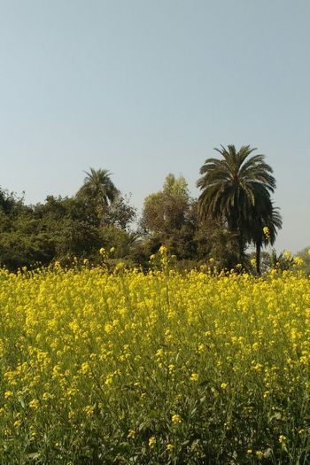 Natural Beauty Nature Photography Nature At Its Best Sunshine Scenes Green EyeEmNewHere Calm Mustard Plant Field Farm Agriculture Growth Tree Yellow Outdoors Nature Day Beauty In Nature Agriculture Sky Palm Tree Flower Freshness
