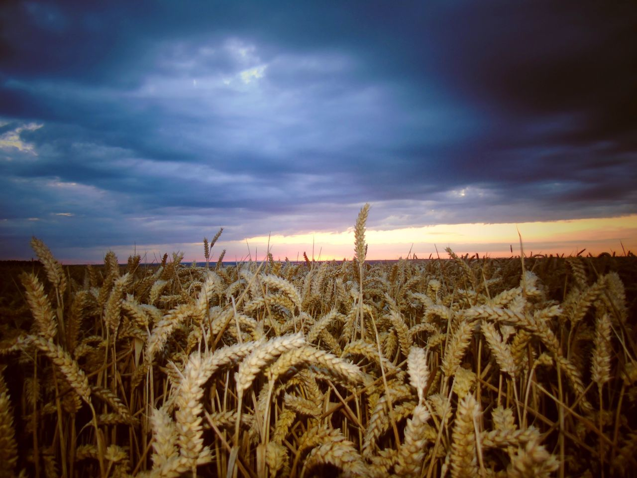 sky, agriculture, field, rural scene, farm, crop, growth, tranquility, tranquil scene, nature, cereal plant, landscape, cloud - sky, beauty in nature, scenics, no people, sunset, wheat, plant, outdoors, day