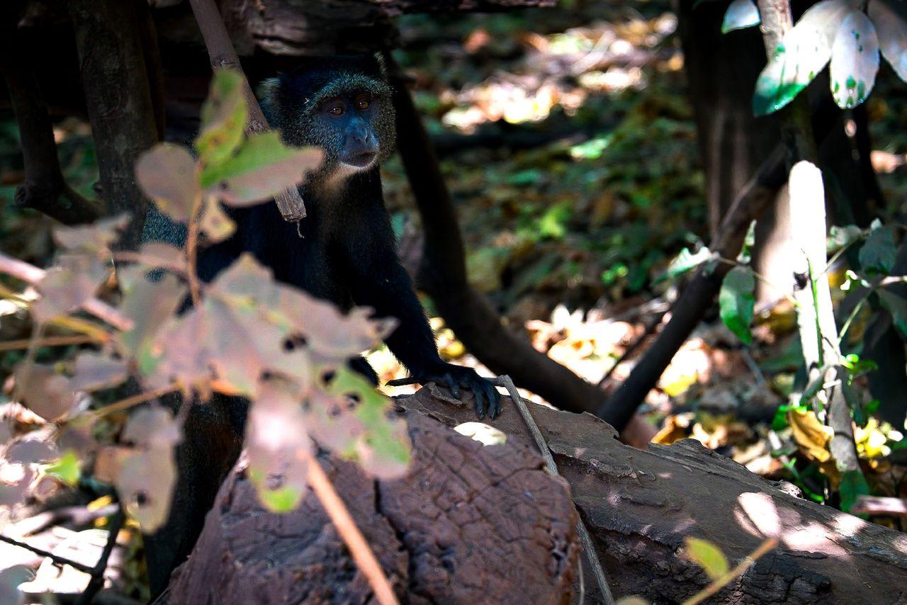 Diademed Monkey Diademmeerkatze FUJIFILM X-T1 Tansania Tanzania Safari Africa Afrika Animal Wildlife Lake Manyara Monkey Affe Meerkatze EyeEmNewHere