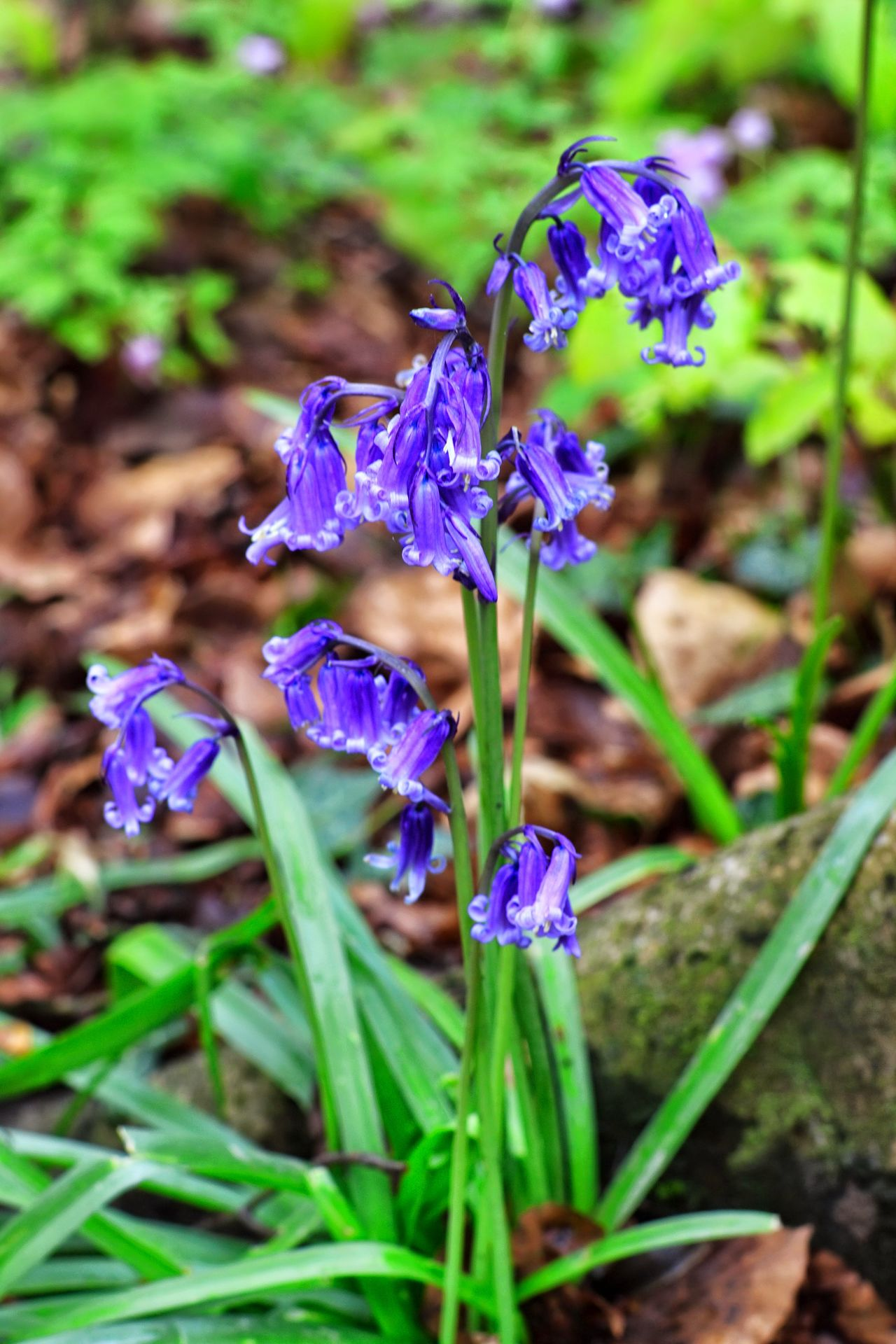 Hiacynth Hallerbos Purple Flower Nature Beauty In Nature Green Color Fragility Outdoors Focus On Foreground Day Plant No People Flower Head