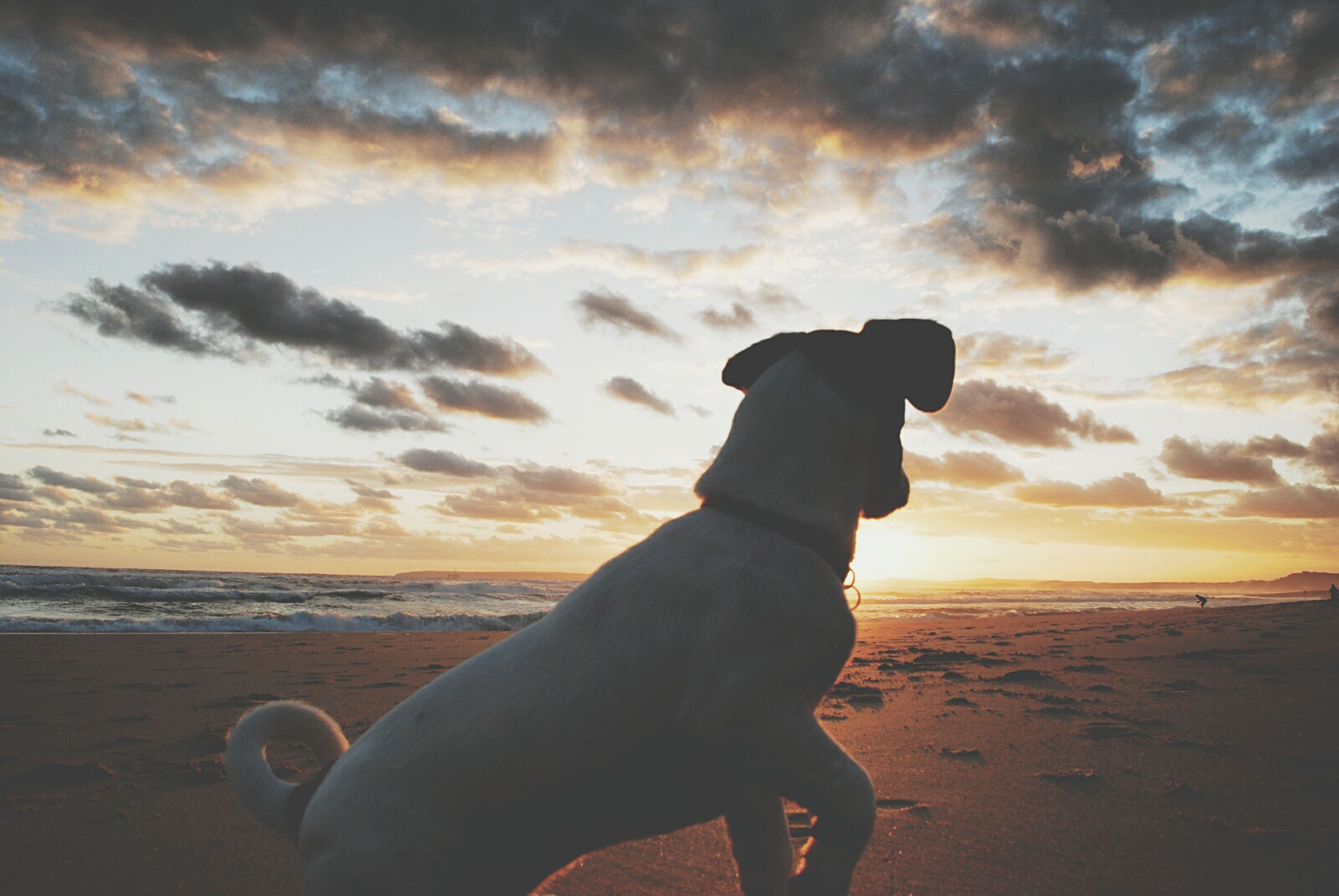 dog, one animal, animal themes, sunset, sky, pets, mammal, cloud - sky, nature, domestic animals, outdoors, beach, no people, day