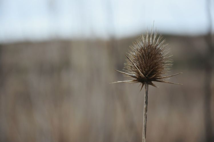 Thistle Thistle Heads Fragility Outdoors Dried Plant Close Up Photography Focus On Foreground Blury Background Nature_collection Nature Photography