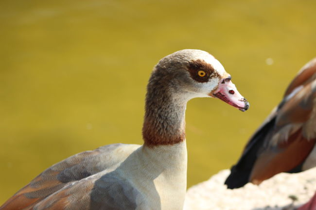 Animal Themes Animals In The Wild Beak Beauty In Nature Bird Close-up Egyptian Goose Nature One Animal Vibrant Color Wildlife