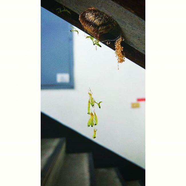 螳螂寶寶 Mantis baby Insect 昆蟲 Mantis Mantisbaby Staircase 樓梯間