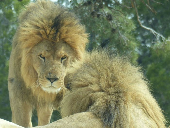 Animals In The Wild Animal Themes Nature Lion - Feline Lion Day Outdoors No People Beauty In Nature Wildlife Wild Wildlife Photography Sigeanreserveafricaine France No Filter