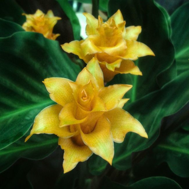 """Crocus giallo"". But the Botanical name is Trudella flavum, I guess. Crocus Crocus Flowers Yellow Flowers Yellow Giallo Fiori Flowers And Plants Mobile Photography S3mini in HDR shooting mode Snapseed"