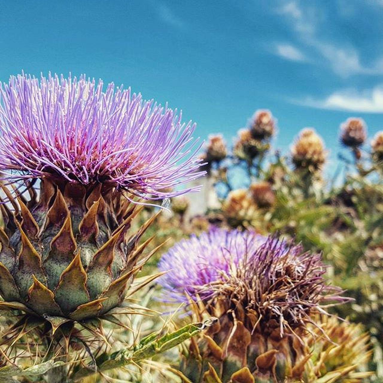 Muy buenos días a tod@s! Cardo Flower Violet Yuyos Nature Ig_captures Natureza Ig_nature Instagood