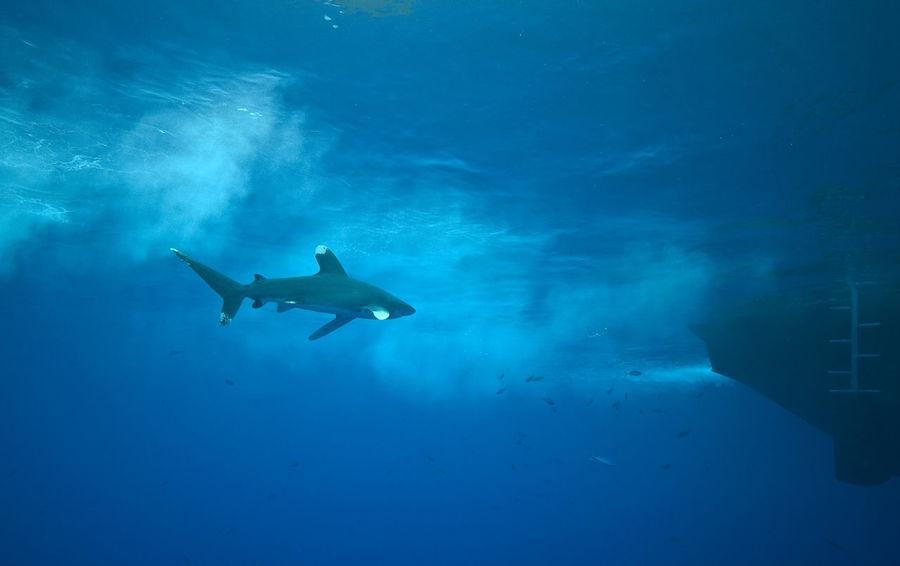 Oceanic white tip shark Carcharhinus Longimanus Nature Ocean Oceanic Oceanic Shark Oceanic White Tip Shark Red Sea Sea Life Shark Shark And Boat Surface UnderSea Underwater Water
