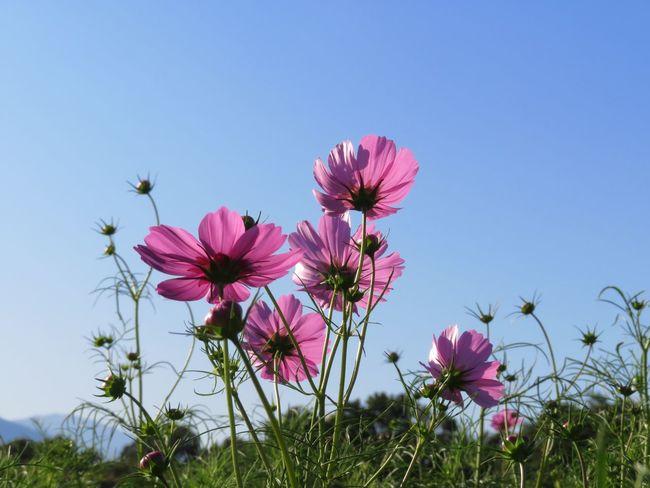 Flower Cosmos コスモス 花 Cosmos Flower 秋の花 秋桜