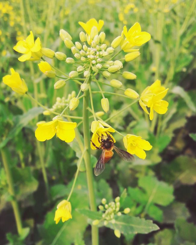 Mobilephotography Bee 🐝 Flowers Yellow Flowers Flowerporn Withouteffect Pakistanphotochallenge Beauty Of Nature Nawanlahore In Pakistan Eyeem Pakistan Littleflower Beautiful Open Edit