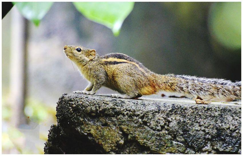 Justclick Kaushalgokarankar'sphotography Travel Photography Squirrel Animal Wildlife Srilankatravel