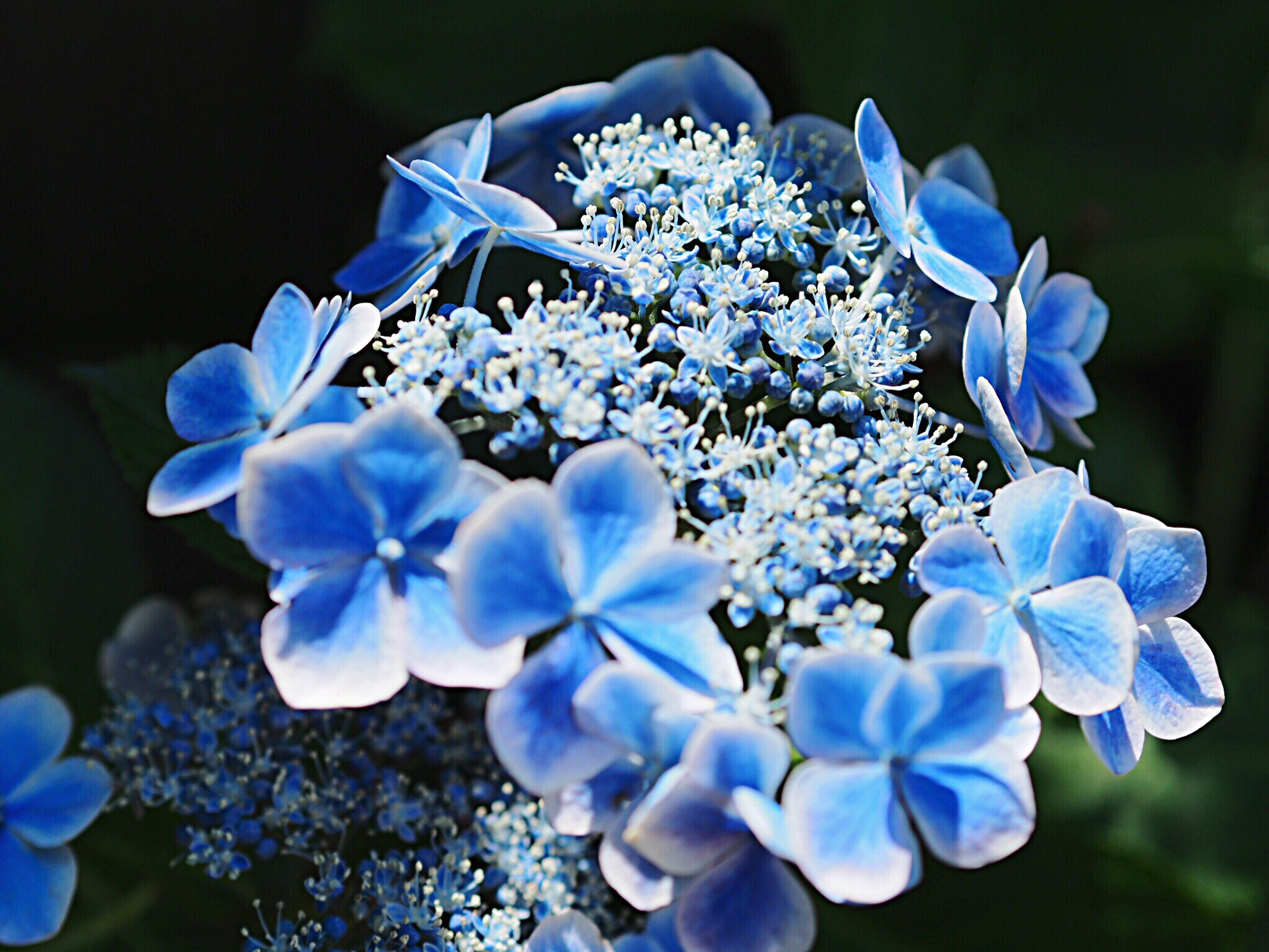 flower, beauty in nature, petal, nature, fragility, growth, blooming, flower head, blue, freshness, hydrangea, no people, day, plant, outdoors, close-up