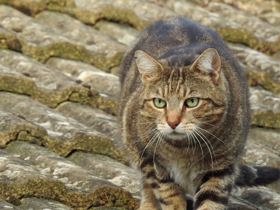 Cat Domestic Cat Feline One Animal Animal Themes Mammal Pets Looking At Camera Portrait Whisker Domestic Animals No People Day Outdoors Close-up