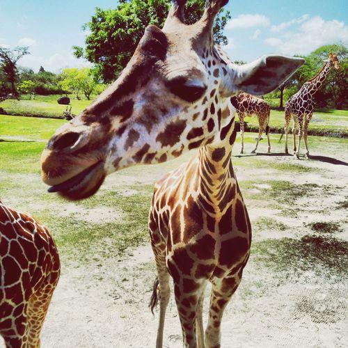 Animals Zoo Giraffe