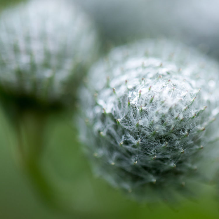 Autumn Garden Botany Cirsium Close-up Focus On Foreground Fragility Freshness Gardening Green Color Growth Macro Nature Plant Selective Focus Softness Tantolunden Thistles Thorny Macro Beauty