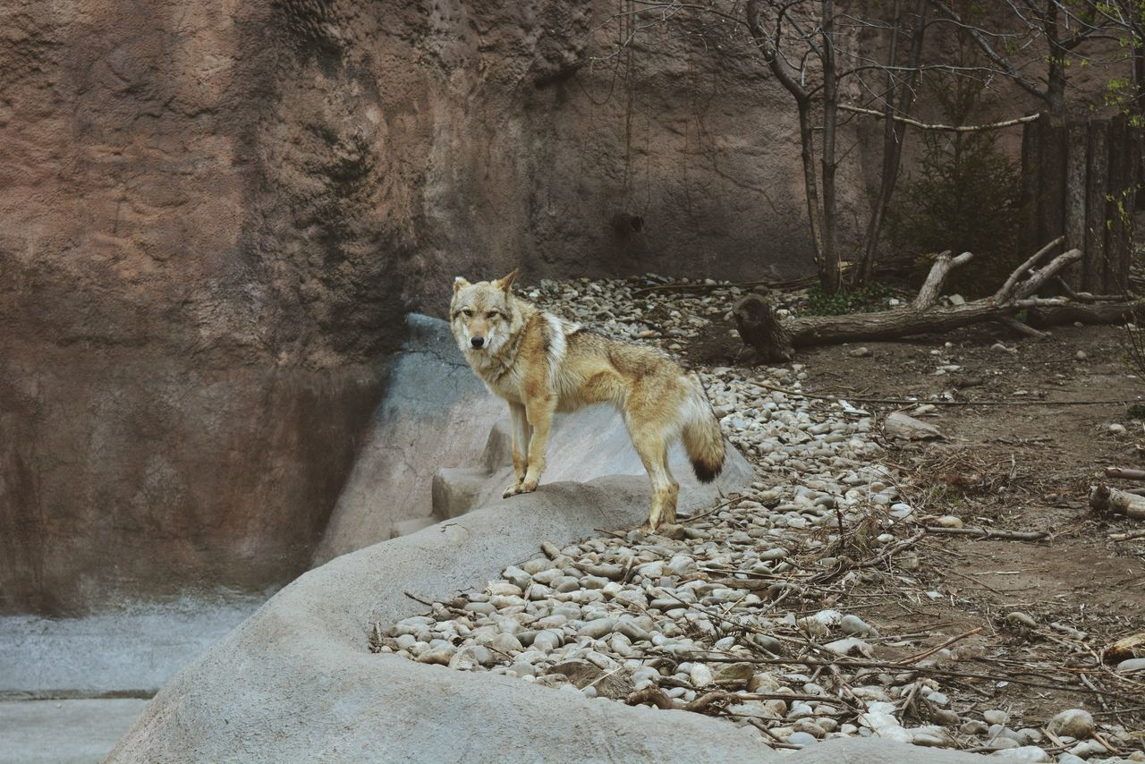 Animal Wild Wolf Perfect Russia Animal Nikon VSCO NikonD5200