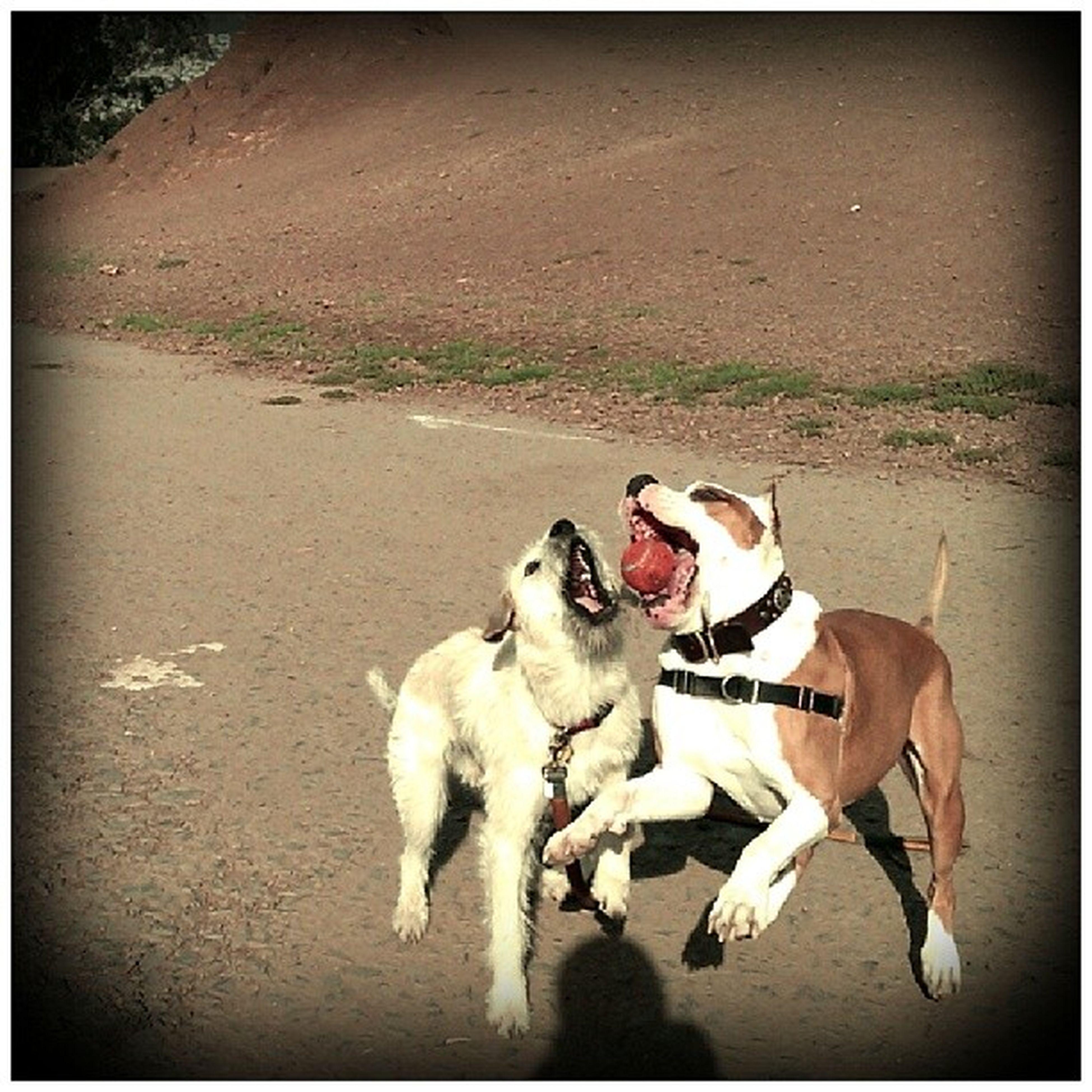 Floydpup and Diego ham. Floyd is such a Ballhog Fetch Dogsplay ILoveMyJob