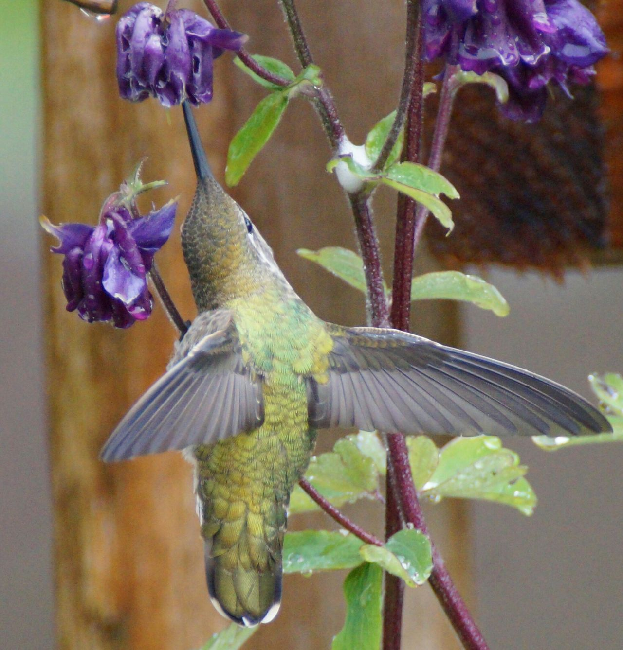 Humming Bird Purple Animal Themes Flower Nature No People Close-up One Animal Animals In The Wild Day Animal Wildlife Beauty In Nature Fragility Outdoors Bird Photography Humming Bird Flying Birds In Flight Hummingbirds Flowers Bird Beauty Hummingbird Feeding