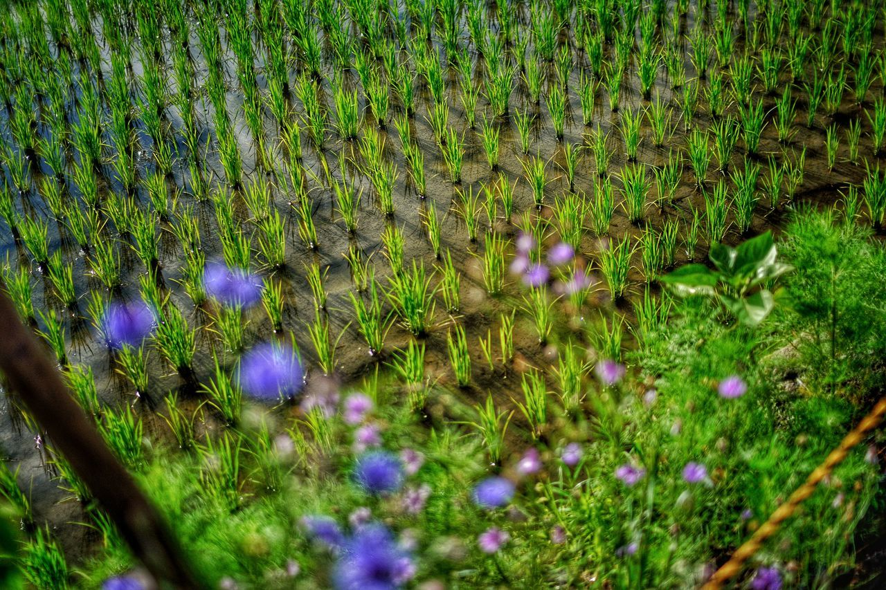 Kyoto Blue Flowers 2016 EyeEm Awards Eyeem Collection EyeEm EyeEm Gallery Plant Depth Of Field EyeEm Best Shots Nature_collection Nature Photography Flower Grass Green Enjoying Life Flowers Beautiful HDR Hdr_Collection Showcase June Ultimate Japan Colour Of Life Pivotal Ideas Place Of Heart