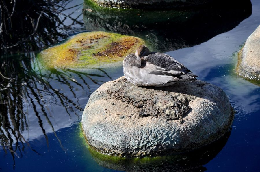 Duck on live rock in King's Park botanic garden pond in Perth Algae Animal Themes Bird Botanical Gardens Calm Day Duck Fauna Floating Geology King's Park Live Rock Moss Nature Non-urban Scene Pond Pond Life Scenics Sleeping Standing Water Tranquility Water Water Surface Western Australia Zoology