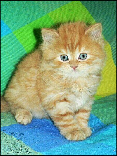 августин Рэд кот котёнок британец рыжий