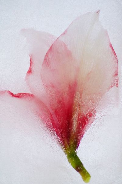 Frozen flower White Color Pink Color Close-up Fragility Flower Head Flower Frozen frozenflower Water Ice Nature Freshness Flowerporn Amaryllis
