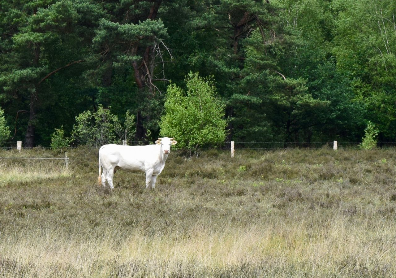 tree, animal themes, field, one animal, domestic animals, mammal, nature, cow, grazing, livestock, grass, landscape, cattle, day, no people, green color, outdoors, growth, standing, farm animal, beauty in nature