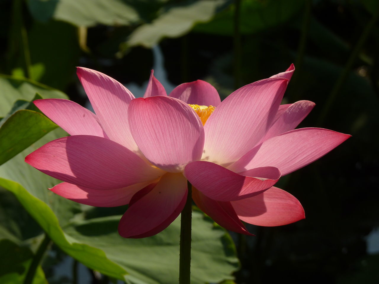 petal, flower, beauty in nature, growth, fragility, nature, flower head, pink color, freshness, plant, blooming, close-up, no people, day, leaf, outdoors, lotus water lily