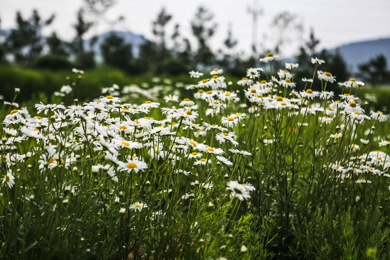 White Daisies Blooming Outdoors