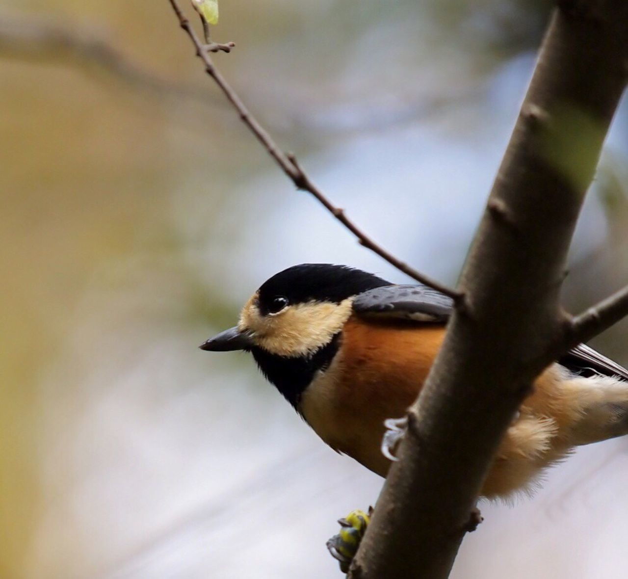 Birds Bird EyeEm Birds Bird Of Tokyo やまがら