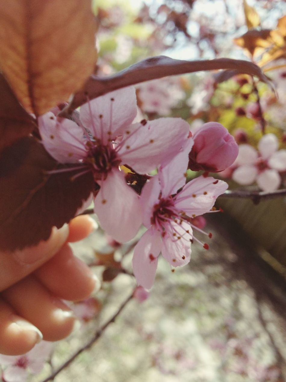 Flower Nature Human Hand Beauty In Nature Tree Outdoors Flower Head Day Human Body Part Freshness Fragility Close-up Growth Withphone Hungary Beutiful