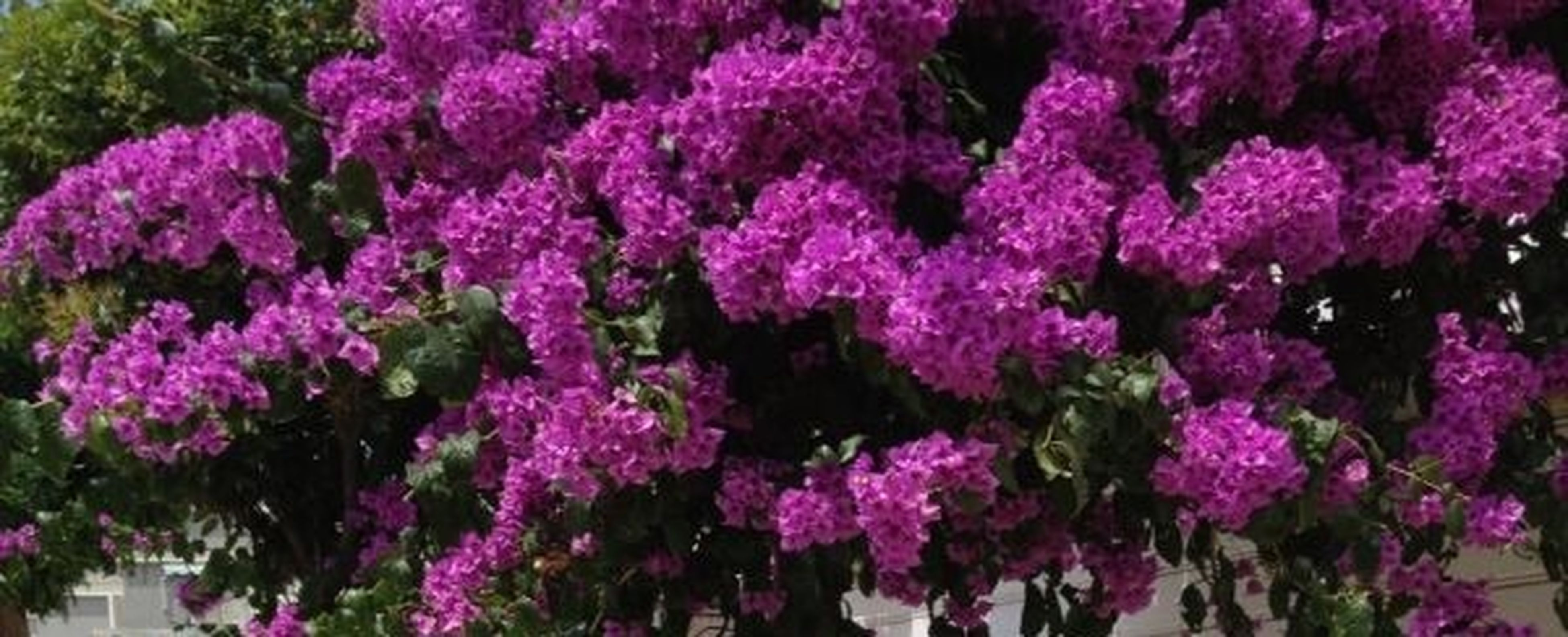 flower, freshness, growth, fragility, beauty in nature, purple, petal, pink color, nature, plant, blooming, full frame, high angle view, abundance, flower head, park - man made space, backgrounds, in bloom, close-up, outdoors