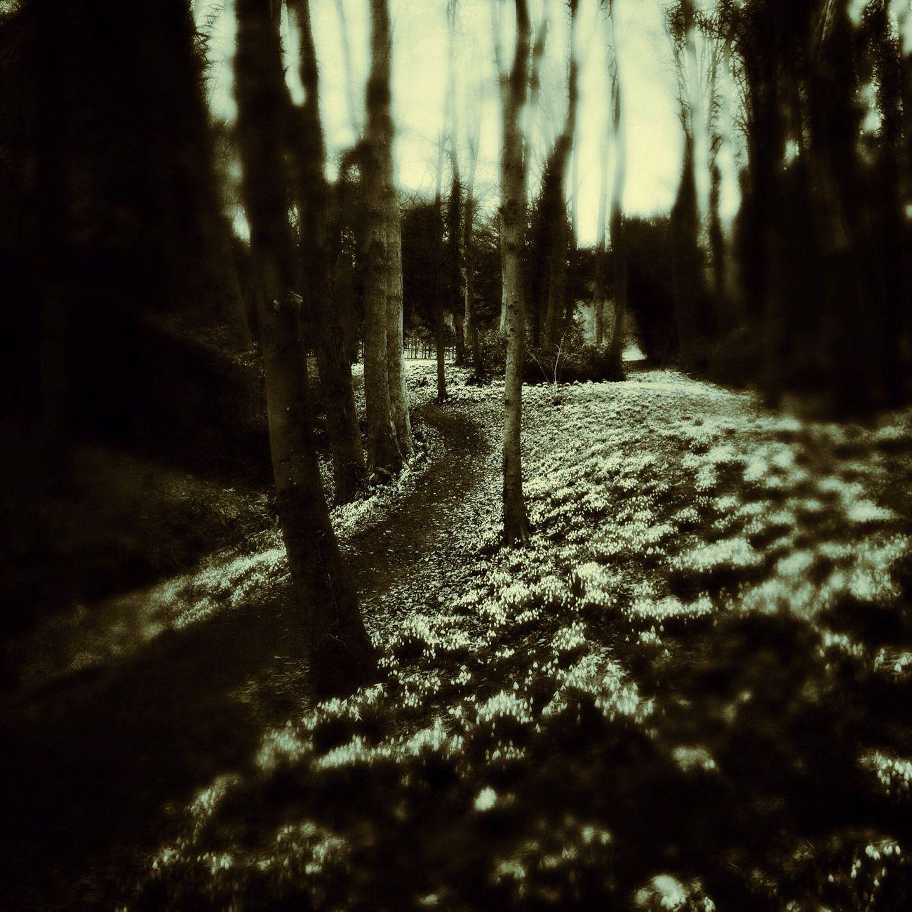 Snowdrops Painswick Rococo Garden Hortus Lucis NEM Landscapes Shootermag
