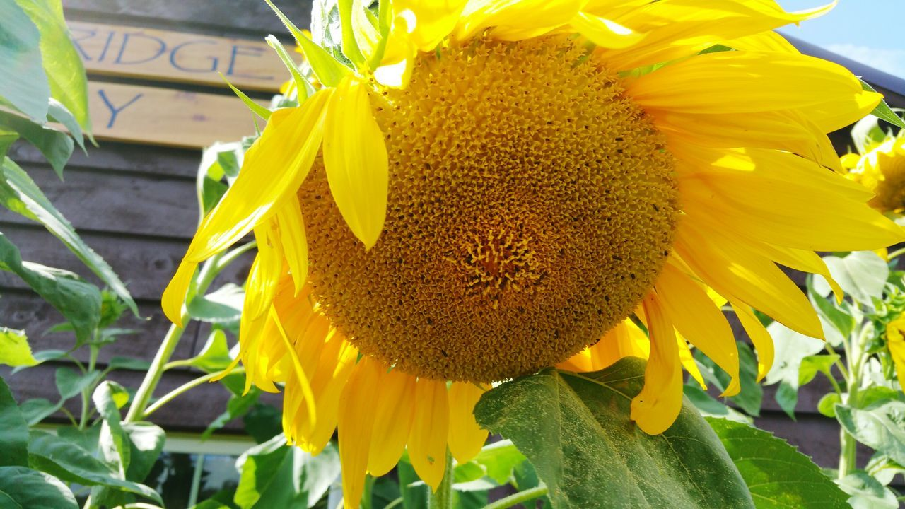 flower, petal, fragility, yellow, freshness, flower head, beauty in nature, nature, growth, plant, close-up, day, sunflower, outdoors, no people, blooming, pollen, leaf, springtime, animal themes